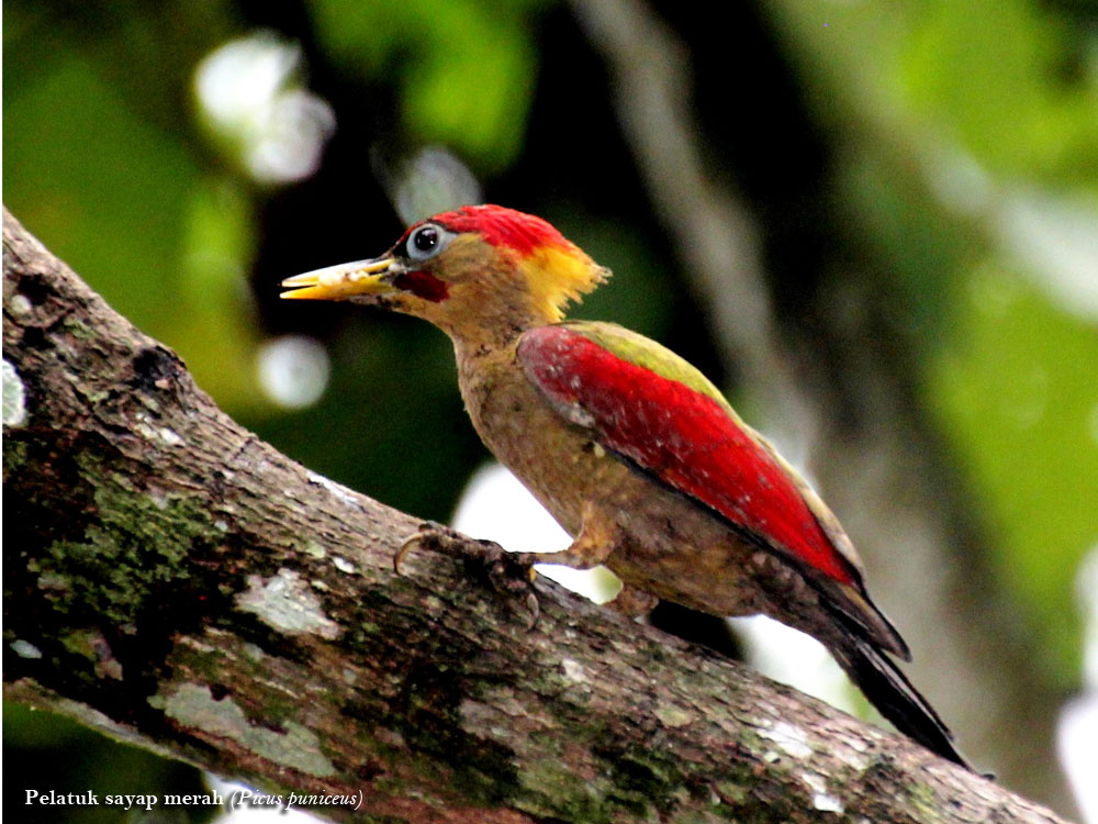 Pelatuk-sayap-merah-Picus-puniceus